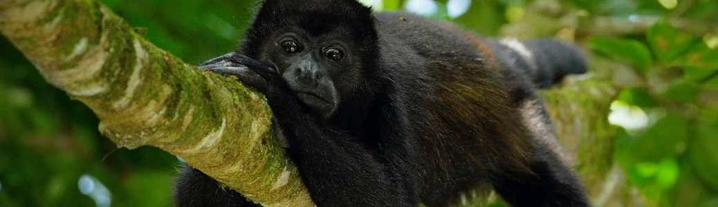 Amazzonia, scimmia